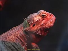 Bearded Dragon (Pogona vitticeps) (arthurvandenbroucke) Tags: zoo dier animal baardagame reptiel leguaan