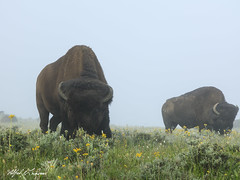 Big Boys In The Fog_27A0438 (Alfred J. Lockwood Photography) Tags: alfredjlockwood nature wildlife mammal bisonbison fog morning summer yellowstonenationalpark wyoming haydenvalley