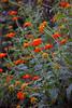 Tithonia (AA9UC) Tags: fantasticflower