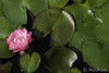 17DSC_8485 (Waterlelie.be) Tags: 2011 bethel noordamerika nymphaea nymphaeapinkpompom ohio tonymoore verenigdestatenvanamerika