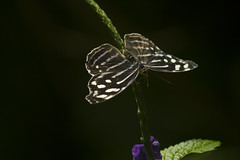 Pitch Black (njumer) Tags: insect insects bug bugs invertebrate invertebrates butterfly butterflies detroit zoo zoos digital photo photography