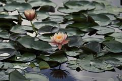 lotus_DSC2444 (nabe121) Tags: sony α9 a9 ilce9 fe emount sonyalpha 100400mm f4556 gm oss silkypixdeveloperstudiopro8 lotus 蓮