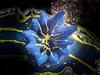 Felimare picta's gills (Cositos :)) Tags: olympus epl2 zuiko 60mm macro fotosub fotografía submarina underwater photography almuñecar granada spain nudibranch nudibranquio sea slug