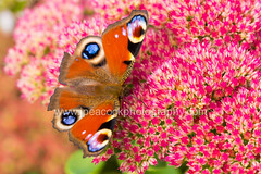 Peacock Butterfly (j.peacockphotography) Tags: peacock butterfly insect macro macrophotography garden summer seasons plant flower pollen pollination pollinator wings pretty beautiful macrodreams photography wildlife wildlifephotography