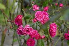 P1040586 (harryboschlondon) Tags: 19thseptember2017 plants trees flowers pink green
