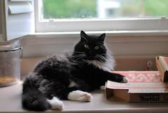 "Batman: Did you order the ""meat lovers' special"" pizza? (rootcrop54) Tags: batman tuxedo male pizza boxes kitchen counter neko macska kedi 猫 kočka kissa γάτα köttur kucing gatto 고양이 kaķis katė katt katze katzen kot кошка mačka gatos maček kitteh chat ネコ pizzahut"