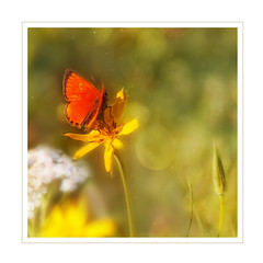 Golden season (BirgittaSjostedt) Tags: animal antenna beautiful beauty blossom bright bugs butterfly color colorful delicate ecology environment exoticism scarcecopper lycaenavirgaureae magicunicornverybest ie macro