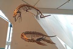 DSC09092 - Xiphactinus Audax (archer10 (Dennis) 107M Views) Tags: ontario sony a6300 ilce6300 18200mm 1650mm mirrorless free freepicture archer10 dennis jarvis dennisgjarvis dennisjarvis iamcanadian novascotia canada toronto rom royalontariomuseum dinosaur museum