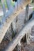 dsc01589 (space lama) Tags: moretonbayfig banyan tree roots graffiti
