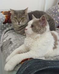 Friends ! (Antiphane) Tags: chat cat chaton kitten brittish shorthair selkirk rex pet animal de compagnie