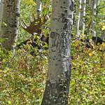 Moose_2017.9.25-1_ed1 thumbnail