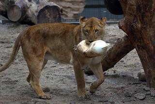 Leeuw/Lion