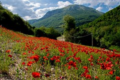 Stop the car, I must get that view! (odell_rd) Tags: poppies coquelicots papaveri mohnblumen italy sunrays5 coth5 ngc npc