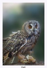 Hibou moyen-duc (gilbert.calatayud) Tags: asiootus hiboumoyenduc longearedowl strigidés strigiformes bird oiseau ile d oleron