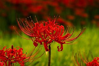 彼岸花/ Red spider lily
