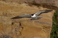 Sooty Tern (Onychoprion fuscatus) (patrickkavanagh) Tags: sootytern onychoprionfuscatus lordhoweisland