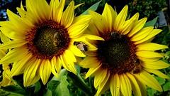 Słoneczniki i pszczoły. (andrzejskałuba) Tags: polska poland pieszyce dolnyśląsk silesia sudety europe panasonic lumix fz200 rośliny plant kwiaty flowers słoneczniki sunflowers żółty yellow pszczoła insect zieleń green garden ogród natura nature 100v10f