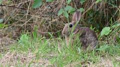 Lapin de garenne (guiguid45) Tags: nature sauvage animaux mammifères loiret d810 nikon 500mmf4 lapin lapindegarenne rabbit oryctolaguscuniculus affût