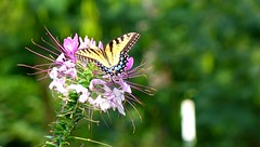 Eastern Tiger Swallowtail on Cleome (David P James) Tags: butterfly cleome