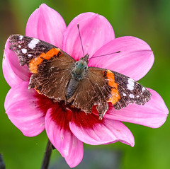 imperfect beauty (I was blind now I see!) Tags: butterfly butterflies red admiral ragged beautiful open winged spread relaxing coloured color colour colourful botanical flower banded canon 80d 100400mm 14 extender