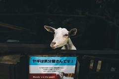 Moody the Goat. (MichelleSimonJadaJana) Tags: color sony ilce7rm2 α a7rii a7r ii full frame emount femount nex fe sel35f14z distagon t 35mm f14 za vsco documentary lifestyle snaps snapshot street photography 日本 japan 沖繩 okinawa