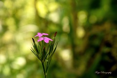 That little flower... (Maria Godfrida (absent for a while)) Tags: nature green flower flora little small pink tiny bokeh blur closeup nikon sunlight 7dwf
