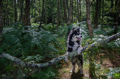 into the woods 33/52 (sure2talk) Tags: intothewoods taivas finnishlapphund sunlight trees newforest woods ittenscontrasts verticalhorizontal linebody we2082017 52weeksfordogs 3352