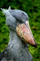 Shoebill, Pairi Daiza (Samantha Schutte) Tags: shoebill pairi daiza dierentuin zoo belgium nikon d3200 bird vogels dieren animals stork schoenbekooievaar