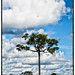 Brazil nut (Bertholletia excelsa) tree