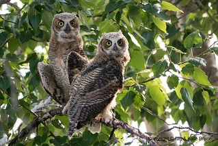 Great Horned Owl: the Youngsters