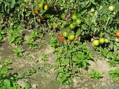 помидоры без теплицы