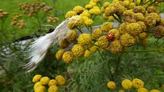 free again (erix!) Tags: rainfarn käfer mareinkäfer flower bug life alive