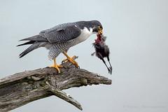 Peregrine Falcon (Male) (Photosequence) Tags: muhammad faizan photography falcoperegrinus peregrine falcon raptor birdofprey nj statelinelookout newjersey alpine palisades interstate park tiercel