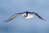 Atlantic puffin (Fratercula arctica) (Tobi Roth) Tags: atlanticpuffin papageientaucher fraterculaarctica vardø finnmark norwegen no