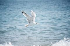 #Gabbiano (Akijos) Tags: d7000 nikon nikondigital tamron tamron70300vc 70300vc sea mare gabbiano blu blue seagull