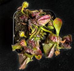 Cephalotus follicularis young plant (hopeliesinproles) Tags: pitcher australia plant carnivorous cephalotus