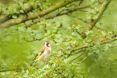 Goldfinch at Daisy Nook (peely03) Tags: daisynookcountrypark goldfinch failsworth