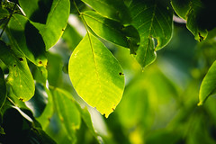 Leaf (Ákos Fekete) Tags: meyeroptikorestor meyer bokeh leaf vintage prime green sun summer afternoon m42 zebra mirrorless milc csc emount evil nature naturescomposition naturephotography sony sonyalpha6000 alpha a6000 ilce6000 ilce beautiful beautifulcapture mbpictures nice 2017 july