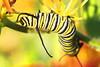 Monarch Caterpillar #2 (mnolen2) Tags: butterfly butterflyweed