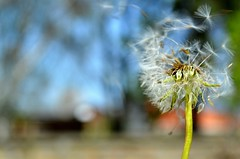 Dandelion (5ra155) Tags: nikon d3200 nikkor 1835mm f3556 dandelion plant flower garden oudoors macro wind green nature spring outdoor white 1855mm