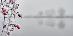 Hagebutteneis :-) (Benni's Fotobude) Tags: gengenbach berghaupten kinzigtal ortenberg offenburg winter frost hagebutten nebel fog ice eis ortenau ortenaukreis kinzig see lake red strauch rauhreif reif nebelsuppe