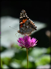 DSC_3052 (DianeBerky19) Tags: nikon d500 70300mm flowers flora butterfly