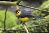 Collared Redstart (Myioborus torquatus) (Gmo_CR) Tags: myioborustorquatus collaredredstart candelitacollareja amigodehombre costarica coronado monserrat locosporelbosque
