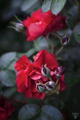 Red Roses 2 (jameslonely) Tags: flower flowers red rose roses redroses redrose photoshop adobe lightroom cc raw cs photo art day rain artwork beautifull real