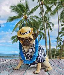 Aloha From Boo Lefou (DaPuglet) Tags: pug pugs dog dogs animal animals pet pets hawaii hawiian vacation trip lei costume aloha sunrays5 coth5 clydesfriends halloween