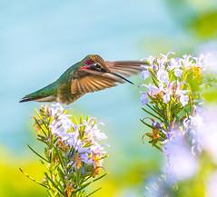Getten er Done. (Omygodtom) Tags: colorful flora wild wildflower bird anashummingbird weather style blur 7dwf outside natural nikkor nature nikon dof d7100 bokeh nikon70300mmvrlens tannersprings action