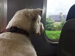 """Enjoying The View (37190 """"Dalzell"""") Tags: westhighland terrier dalzell traintravel northernrail class156 dayout"""