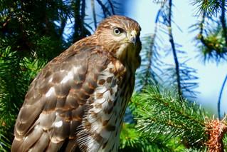 Cooper's Hawk 7-21-17 Esther Short Park, Vancouver, Washington