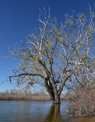 Tree in High Water (maytag97) Tags: maytag97 nikon d750 lake lowell high springtime