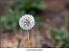 Dandelion in the Garden (Sherwood Harrington) Tags: dandelion seeds puffball stem